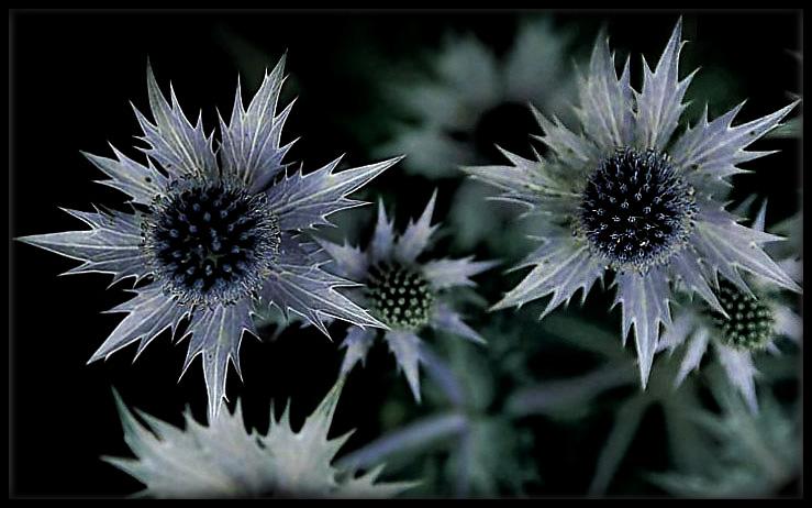 """фото """"thorns"""" метки: макро и крупный план, природа, цветы"""