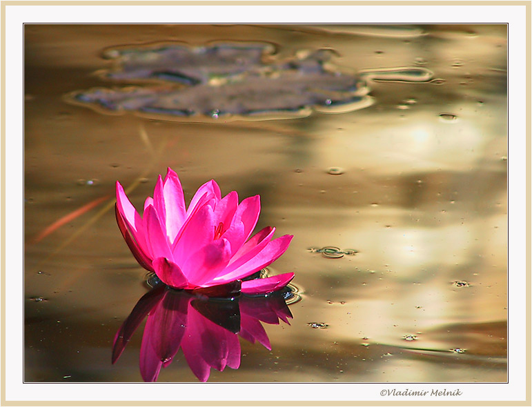 "photo ""Lotus in liquid gold..."" tags: nature, landscape, flowers, water"