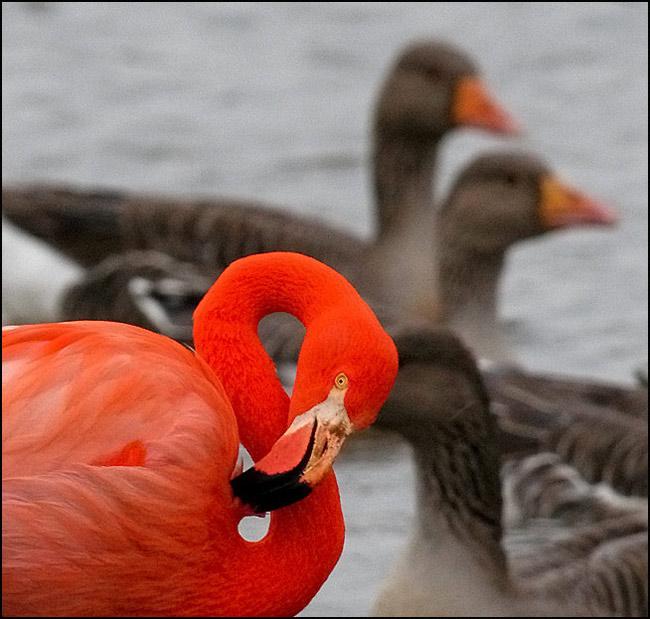 "photo ""Фламинго+ГУСИ"" tags: nature, wild animals"