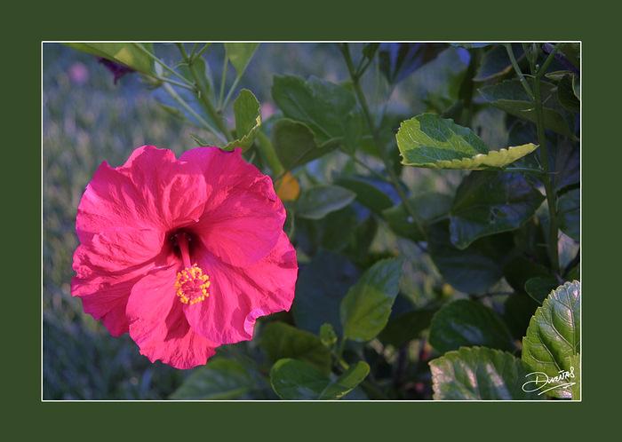 """фото """"Ibiscus"""" метки: природа, цветы"""