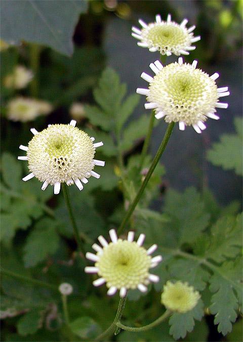 """фото """"Белое на зеленом.."""" метки: природа, макро и крупный план, цветы"""