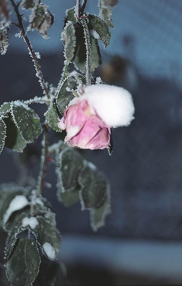 "фото ""Цветы запоздалые!"" метки: натюрморт, природа, цветы"