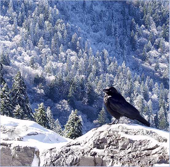 """фото """"Snow Bird"""" метки: пейзаж, горы, лес"""