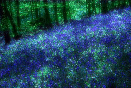 "photo ""Bluebells light"" tags: montage,"