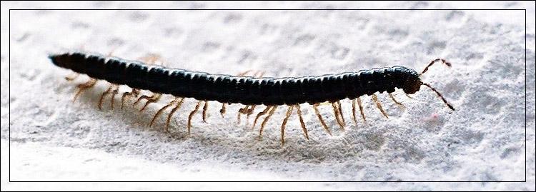 """фото """"МАРШ, МАРШ ЛЕВОЙ! МАРШ, МАРШ ПРАВОЙ!"""" метки: макро и крупный план, природа, насекомое"""