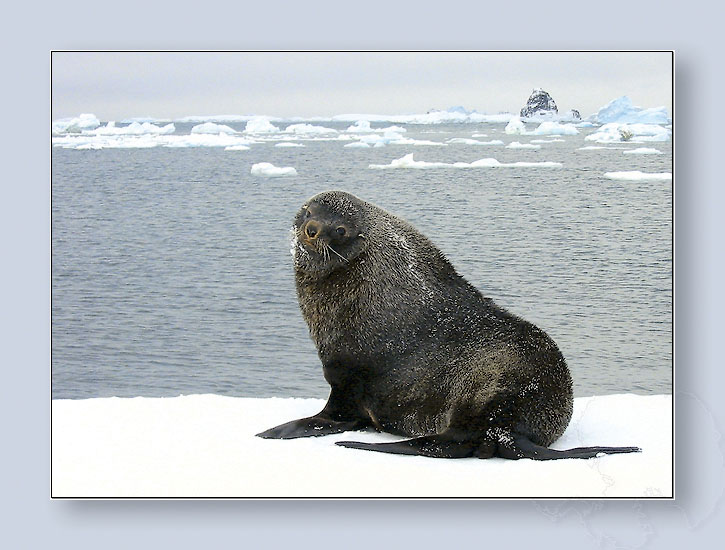 "photo ""Antarctic fur seal"" tags: nature, landscape, summer, wild animals"