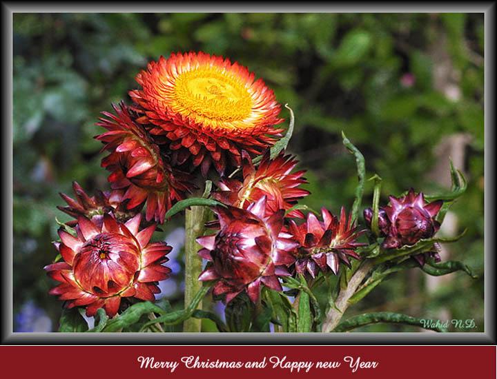 "фото ""Family of Everlasting Flowers"" метки: природа, цветы"
