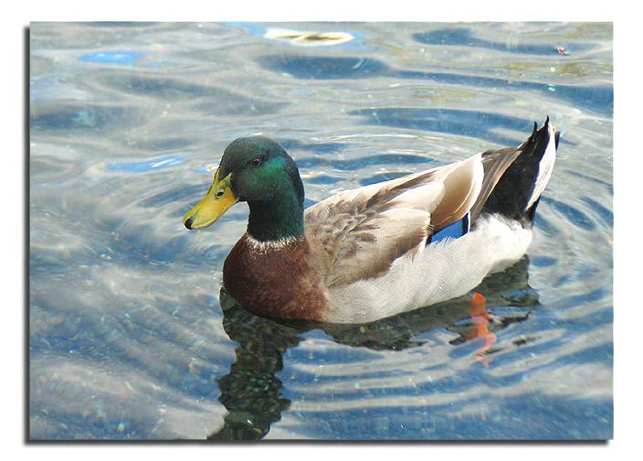 "фото ""Why a Duck?"" метки: природа, дикие животные"