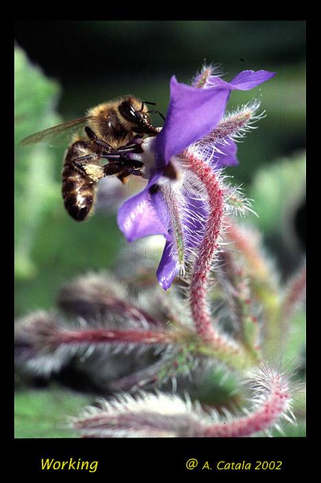 "фото ""abeja"" метки: природа, насекомое"