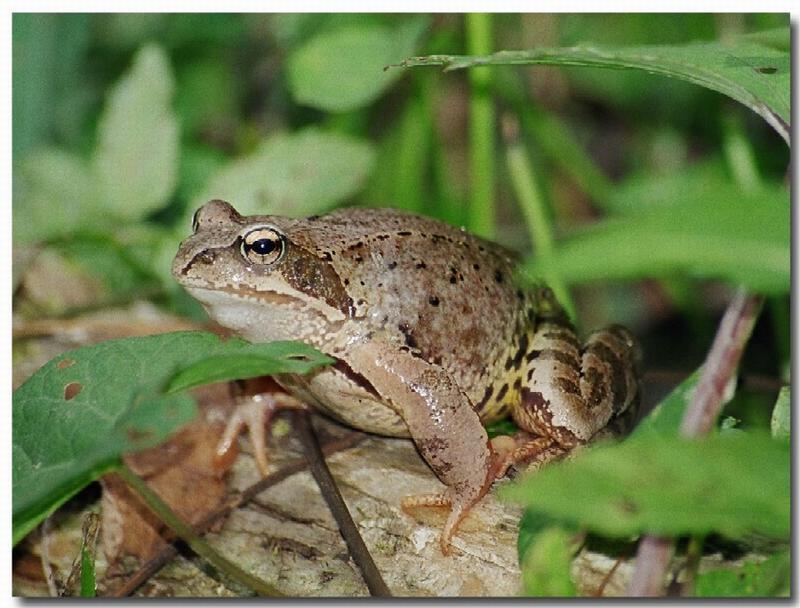 "фото ""Царевна лягушка"" метки: макро и крупный план, природа,"