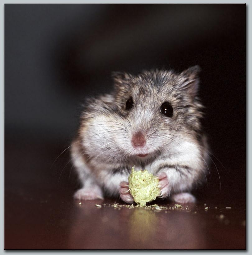 """фото """"Хомяк – он и есть хомяк"""" метки: природа, домашние животные"""