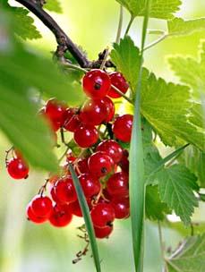 """фото """"красная смородина"""" метки: природа, цветы"""
