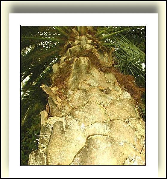 """фото """"Хорошо под пальмой зимой!"""" метки: путешествия, природа, цветы"""