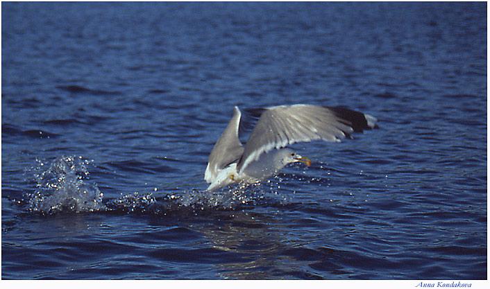 """фото """"рыболов"""" метки: природа, дикие животные"""