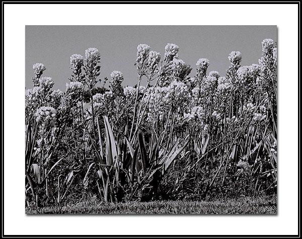 "фото ""Flowers in black"" метки: природа, цветы"