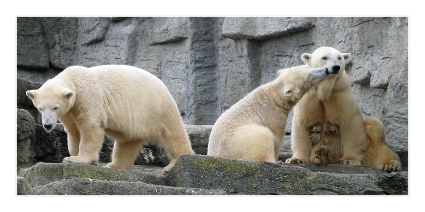"""фото """"Three Bears"""" метки: природа, дикие животные"""