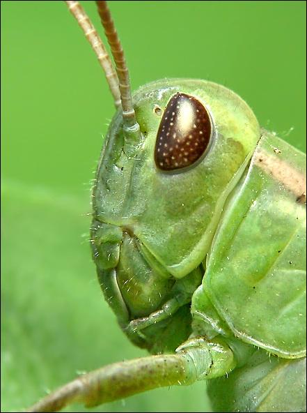 """фото """"Grasshopper"""" метки: природа, макро и крупный план, насекомое"""