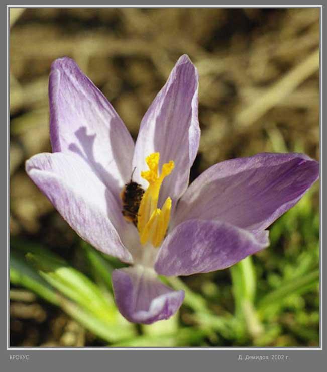 """фото """"крокус"""" метки: природа, цветы"""