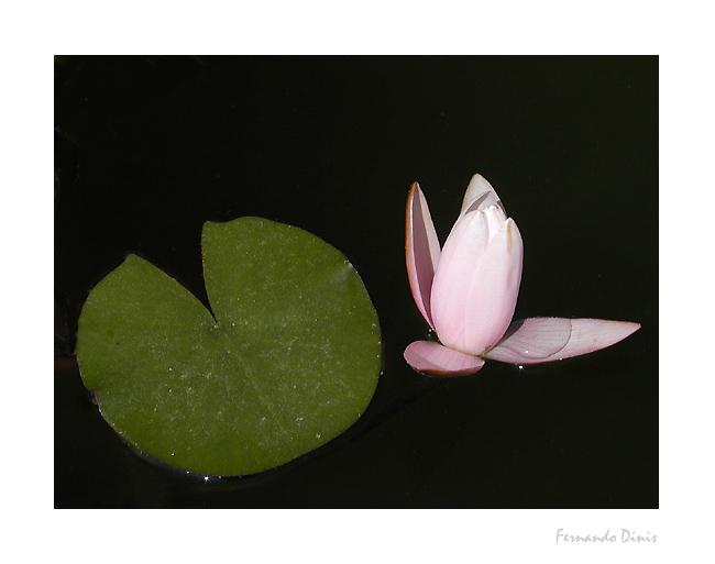 "фото ""Nenufar"" метки: природа, цветы"