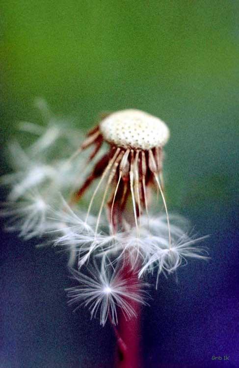 """фото """"Зрелость..."""" метки: природа, цветы"""