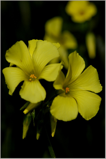 "фото ""Yellow flowers"" метки: природа, цветы"