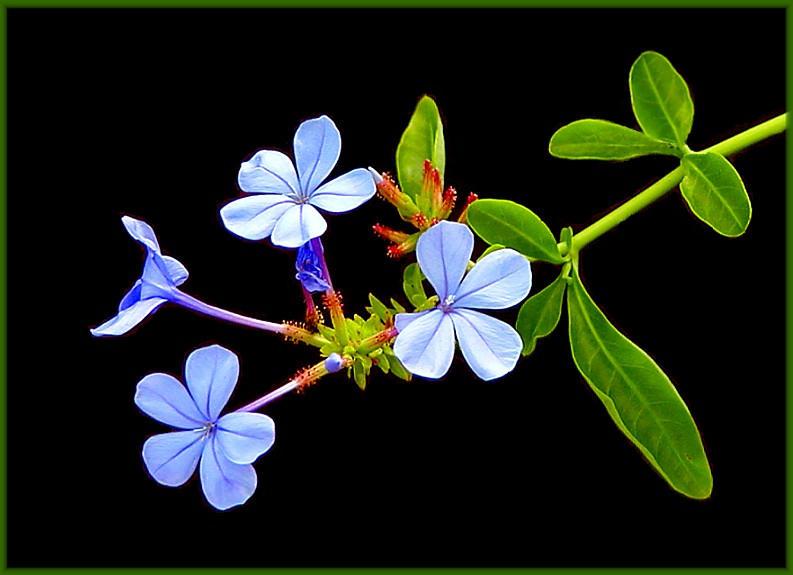 "фото ""Little blue flowers"" метки: природа, натюрморт, цветы"