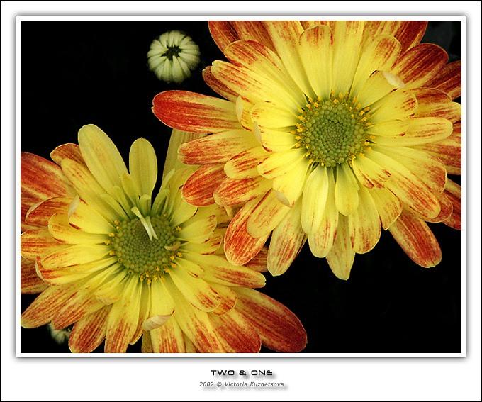 """фото """"Two & one"""" метки: природа, макро и крупный план, цветы"""