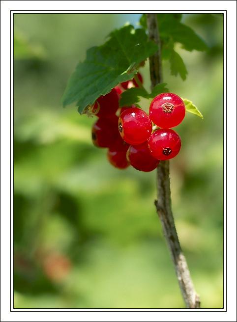 """фото """"Смородинка для релаксации"""" метки: макро и крупный план, природа, цветы"""