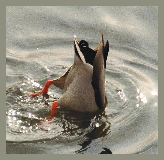 """фото """"Главное хвост!"""" метки: разное, природа, дикие животные"""