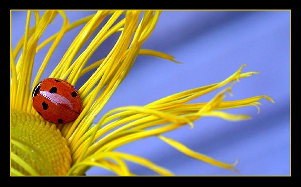 """фото """"The little ladybug"""" метки: макро и крупный план, природа, насекомое"""