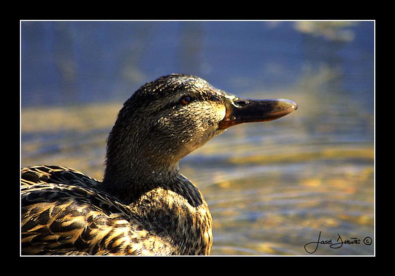 """фото """"Anas Platyrhynchos"""" метки: природа, дикие животные"""