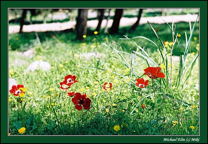 "фото ""МАКИ (Весенняя 2)"" метки: природа, цветы"
