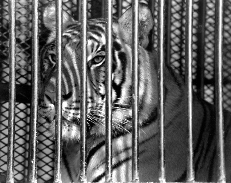 """фото """"Caged"""" метки: природа, черно-белые, дикие животные"""
