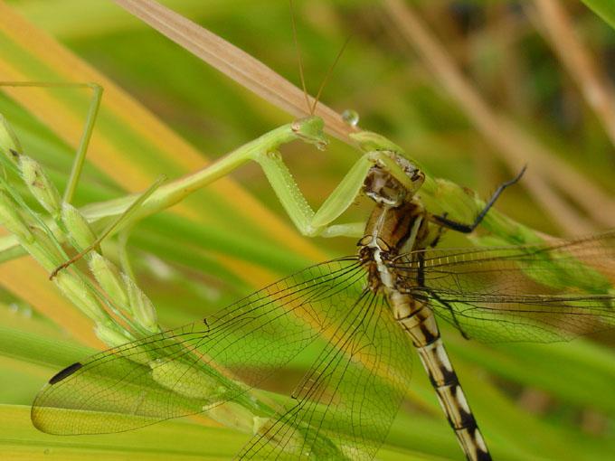 """фото """"Prey I"""" метки: природа, насекомое"""