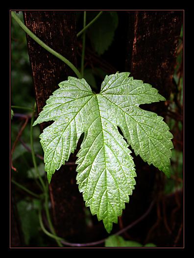 "фото ""Просто мокрый лист на заборе"" метки: природа, цветы"