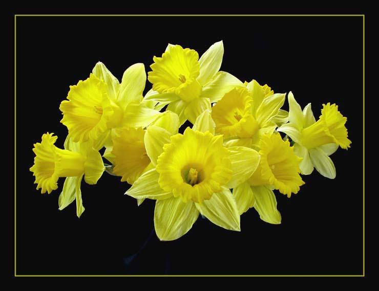 """фото """"Daffodils"""" метки: натюрморт,"""