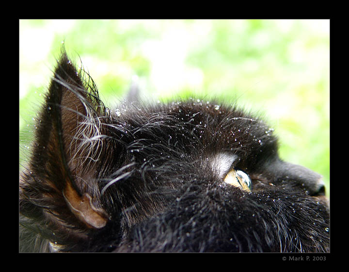 """фото """"Кот Тимофей глядящий в небо после дождя"""" метки: природа, макро и крупный план, домашние животные"""
