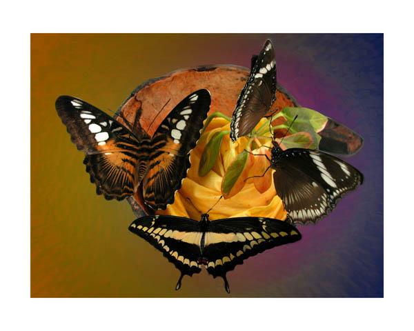 """фото """"Four Butterflys"""" метки: природа, макро и крупный план, насекомое"""