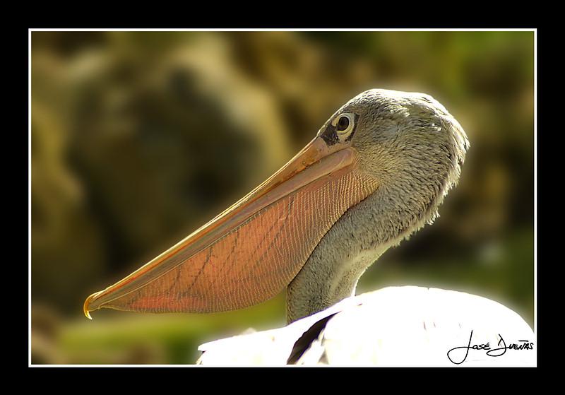 "фото ""Pelican"" метки: природа, дикие животные"