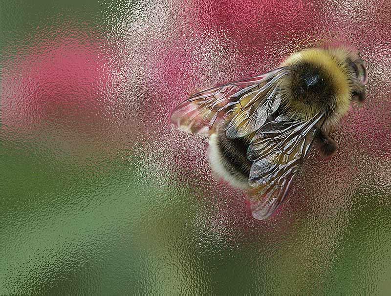 """фото """"шмель"""" метки: природа, насекомое"""