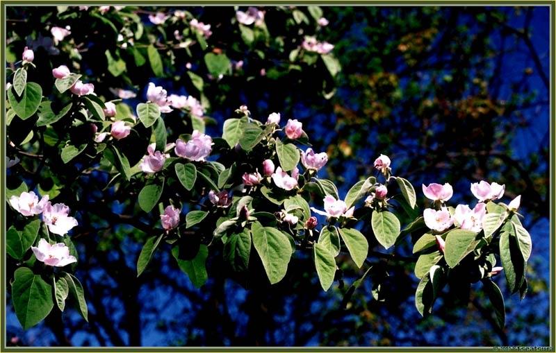 "фото ""Cherry Plum Blooming"" метки: природа, цветы"