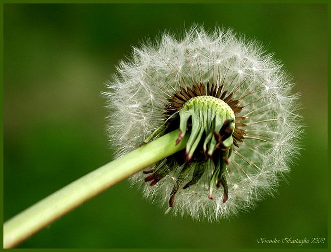 """фото """"Waiting for Wind"""" метки: макро и крупный план, природа, цветы"""