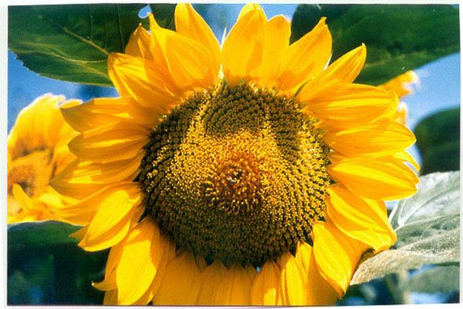 """фото """"sunflower"""" метки: природа, макро и крупный план, цветы"""