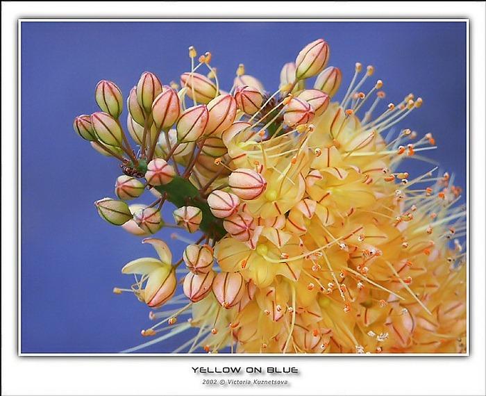 """фото """"Желтое на голубом"""" метки: макро и крупный план, природа, цветы"""