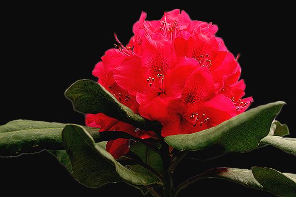 """фото """"Red is beautiful..."""" метки: природа, макро и крупный план, цветы"""