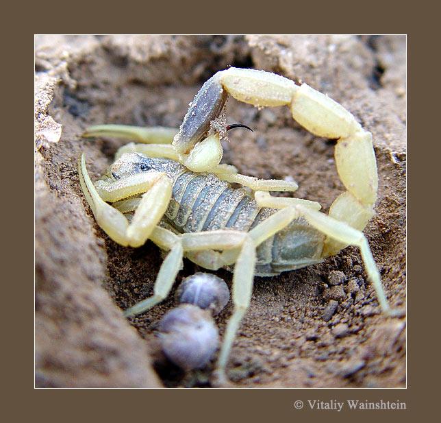 """фото """"СКОРПИОНИХА"""" метки: природа, макро и крупный план, насекомое"""