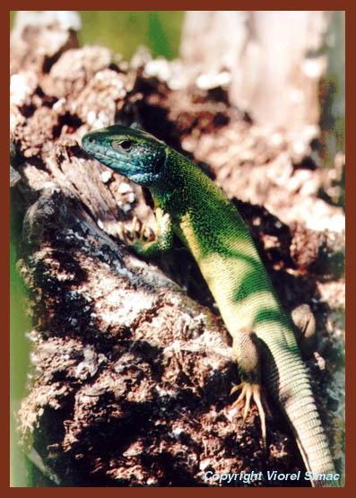 """фото """"Ящерица"""" метки: макро и крупный план, природа, дикие животные"""