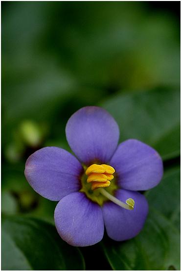 "фото ""Blue Flower"" метки: природа, цветы"