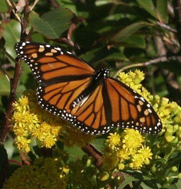 """фото """"Monarch Butterfly"""" метки: природа, насекомое"""