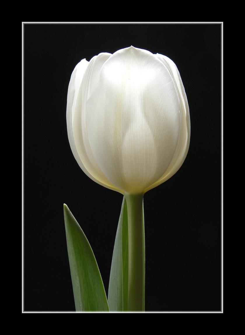 "фото ""White Tulip"" метки: натюрморт,"